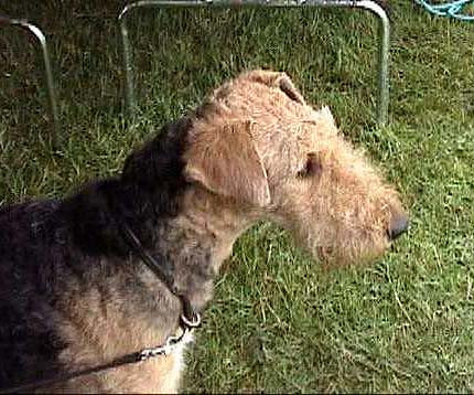 Phoebe Airedale Terrier